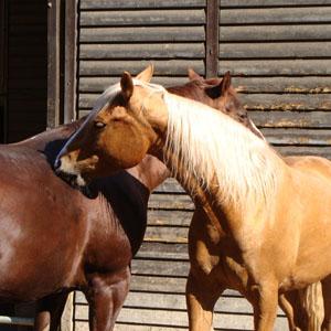 körpersprache pferde