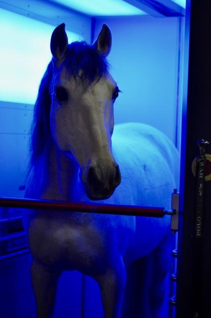 pferd unter blauem licht